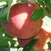 Apple Picking in Stow, Massachusetts